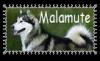 Malamute