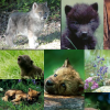 Wolf Pup Collage