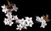 Cherry blossom - Transparent graphic