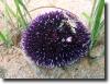 sötétlila tengeri sün