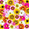 MULTI FLOWERED BACKGROUND, DAISIES, SPRING, NATURE